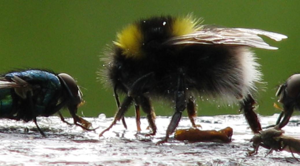 Lynghumle hann og fluer på foringsplass.