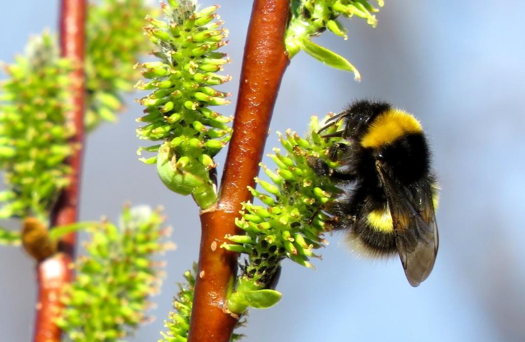 Dronning lundhumle Bombus soroeensis på hunnblomst av vier Salix. Fotografert 18. mai 2014 på kulturbeite i Aunegrenda, Haltdalen, Holtålen kommune, Sør-Trøndelag. Foto: Tor Bollingmo.