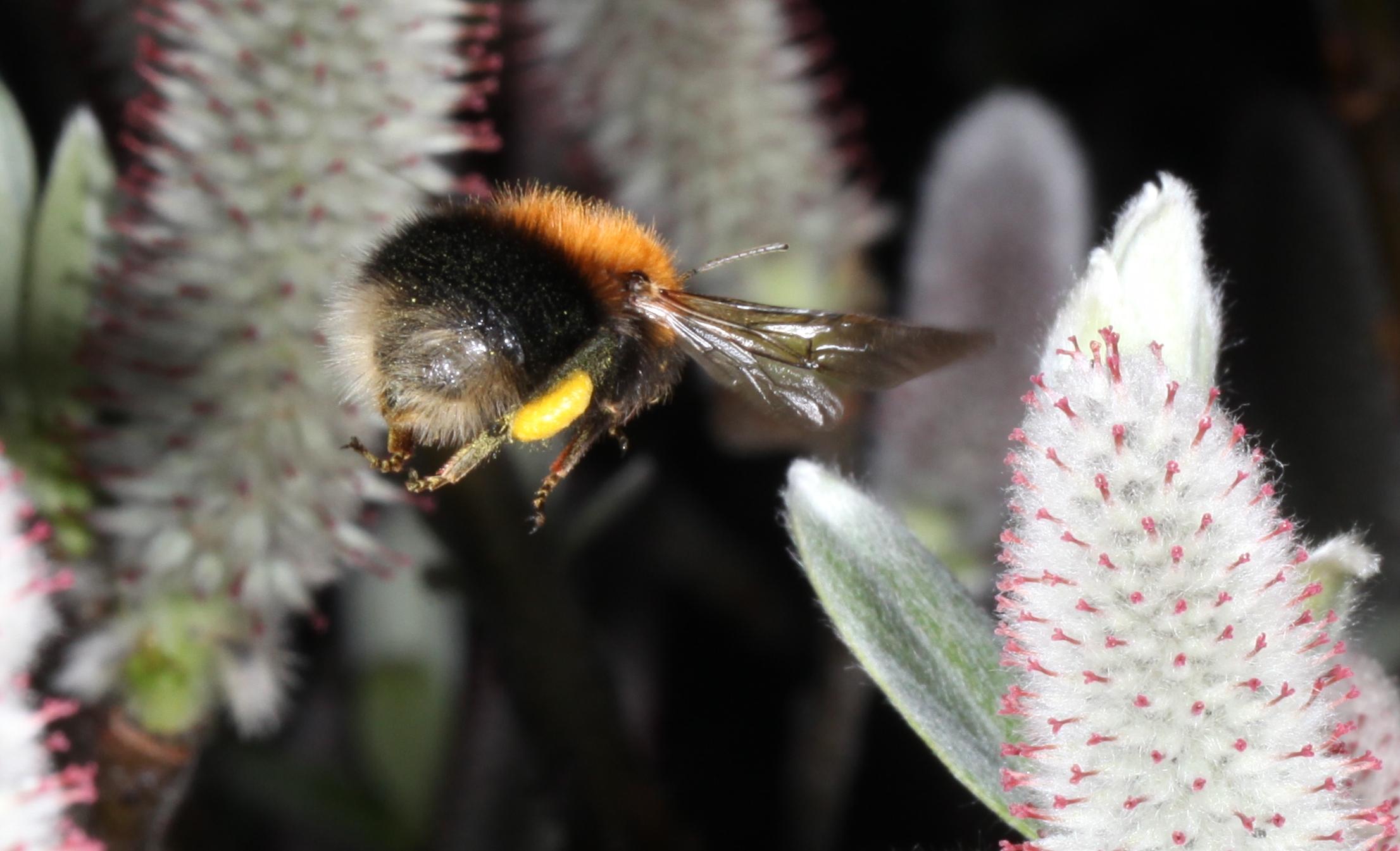Gule klumper av Salix-pollen på bakleggene viser at humlene i Ringve botaniske hage allerede har funnet seg et sted å bo. Da er det like før eggene blir lagt. Foto: Tor Bollingmo.