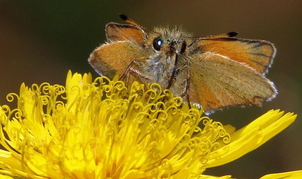 Den lille sommerfuglen timoteismyger Thymelicus lineola er den av våre 10 smygerarter som har minst utbredelse. Ved siden av noen meget gamle funn fra Aust-Agder og Akershus, er utbredelsen begrenset til den sørlige delen av Buskerud der den er lokalt vanlig. Den er også funnet i tilgrensende deler av Oppland og Vestfold. Arten forsvant helt fra vår fauna på slutten av 1800-tallet inntil den uventet dukket opp igjen i Hokksund i 1977. Eksemplaret øverst på siden ble fotografert i Eidskog kommune, Hedmark, 3,5 kilometer sørøst for kommunegrensa til Kongsvinger den 16. august 2015. Det representerer andre funn i Hedmark og tredje rapportering fra Norge i år.