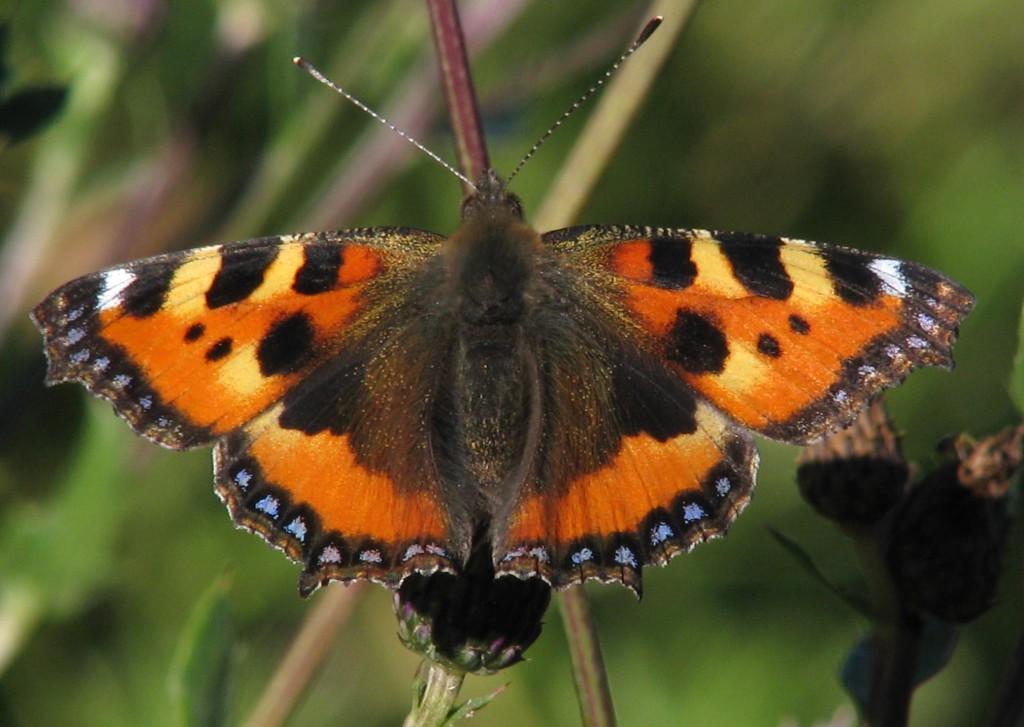 Neslesommerfuglen har store, svarte felter på indre del av bakvingene, og ser mye mørkere ut enn seljesommerfuglen når den først setter seg ned. I flukt er de så raske og urolige at det er vanskelig å se detaljene. Foto: Tor Bollingmo.