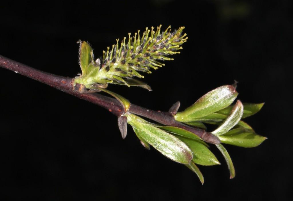 Salix hunnblomst