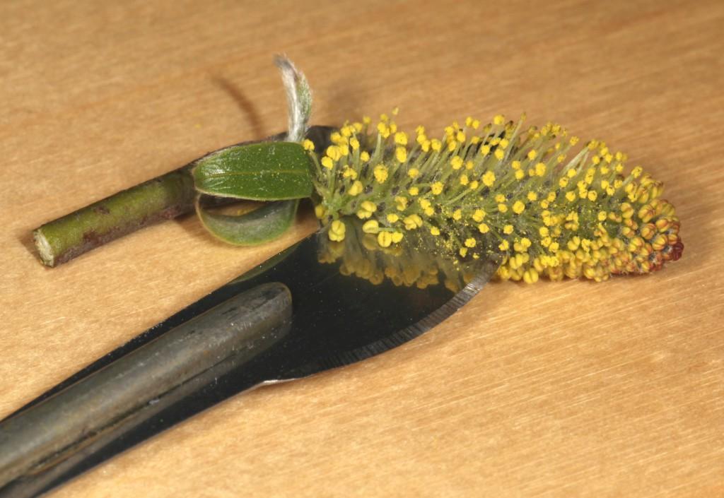 Bruk en skarp kniv (her har vi brukt en skalpell) og del vierblomsten i to langs midten. Foto: Tor Bollingmo.