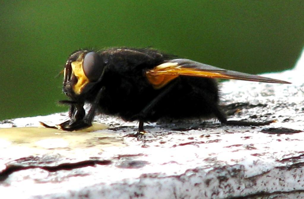 Ei diger flue står med begge frambena midt i matfatet mens den drikker fortynnet honning med de kraftige munndelene. Foto: Tor Bollingmo.