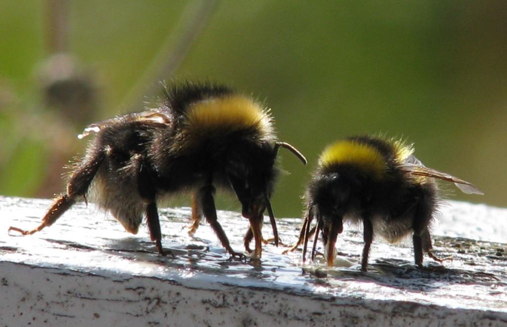 Her har en dronning av markgjøkhumle og en arbeider av lynghumle funnet frem til foringsplassen med honningvann. Foto: Tor Bollingmo.