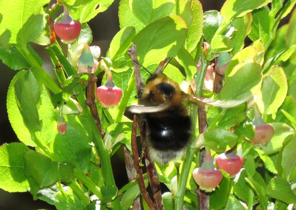 Dronning av trehumle ute etter påfyll av blåbærnektar. Foto: Tor Bollingmo.