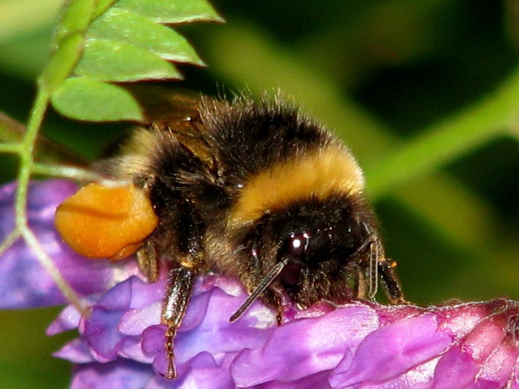 Mot slutten av arbeidsøkta har arbeideren av lys jordhumle Bombus lucorum  samlet så mye pollen og nektar at den knapt er istand til å fly.