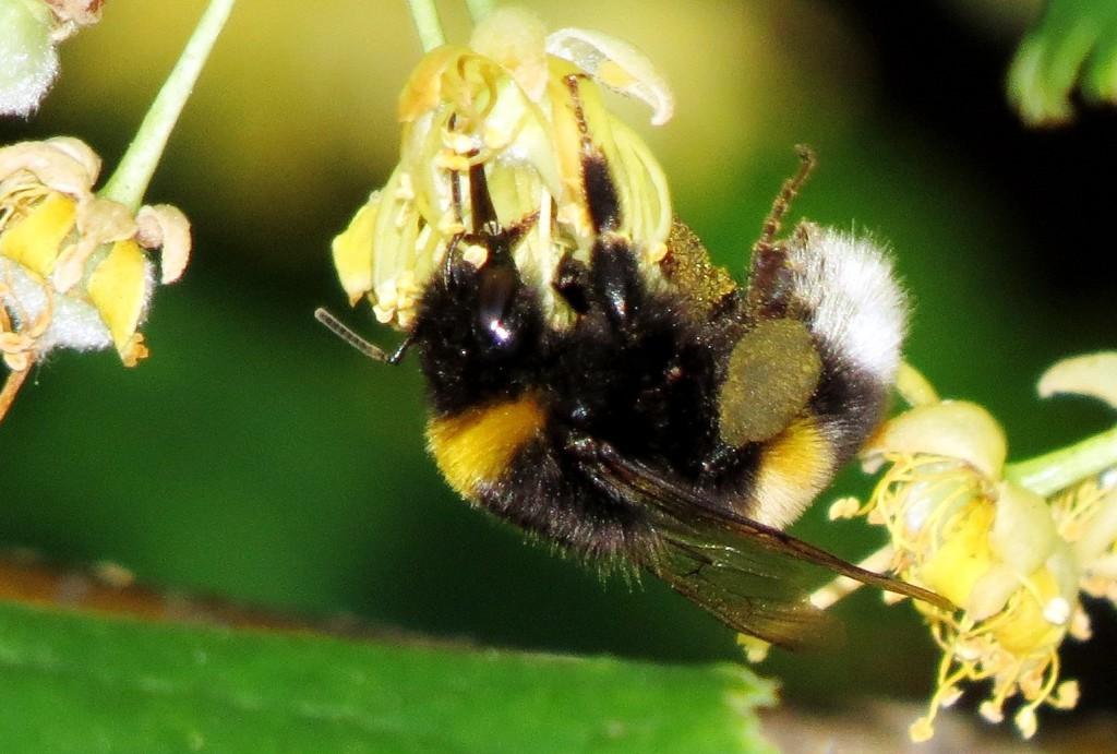 Lind produserer store mengder nektar som tiltrekker seg masse insekter. Her en arbeider av mørk jordhumle Bombus terrestris med store klumper av lindepollen på bakleggene. De store klumpene viser at denne humla må ha jobbet på lind gjennom hele dagen. Foto: Tor Bollingmo.