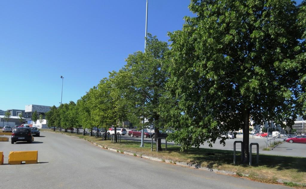 På Trondheim havn er noen parkeringsplasser beplantet med parklind. Foto: Tor Bollingmo.