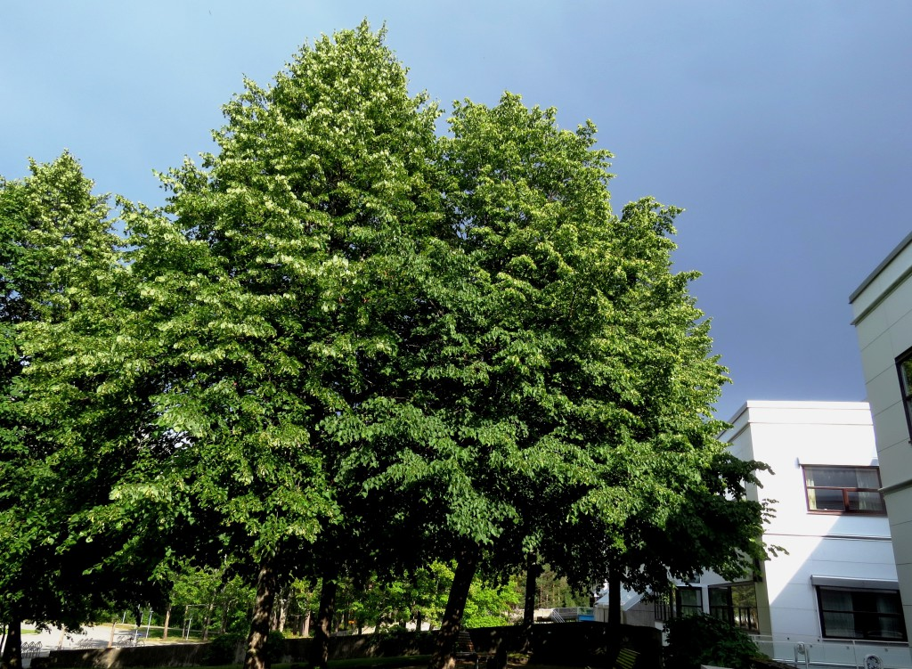 Disse rundt 40 år gamle lindetrærne ved Dragvoll campus i Trondheim dreper hundrevis av humler hver eneste sommer. Foto: Tor Bollingmo.
