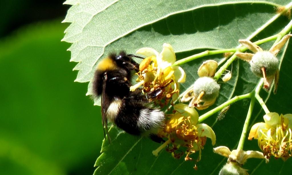 Lys jordhumle Bombus lucorum på lindeblomster. Foto: Tor Bollingmo.