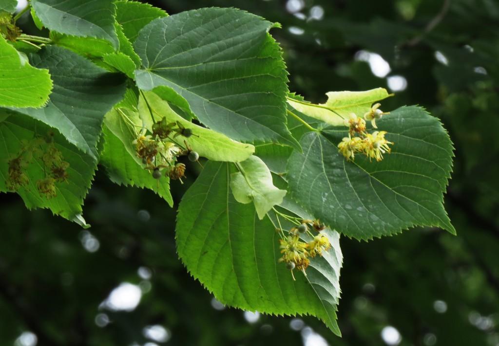 Lindetreet med sine brede blader og lysegule blomster er bare en av svært mange plantearter som beskytter seg ved hjelp av ulike giftstoffer. Insektenes miljø er fullt av naturlig gift. Derfor må humlene selv avgifte den maten de spiser.