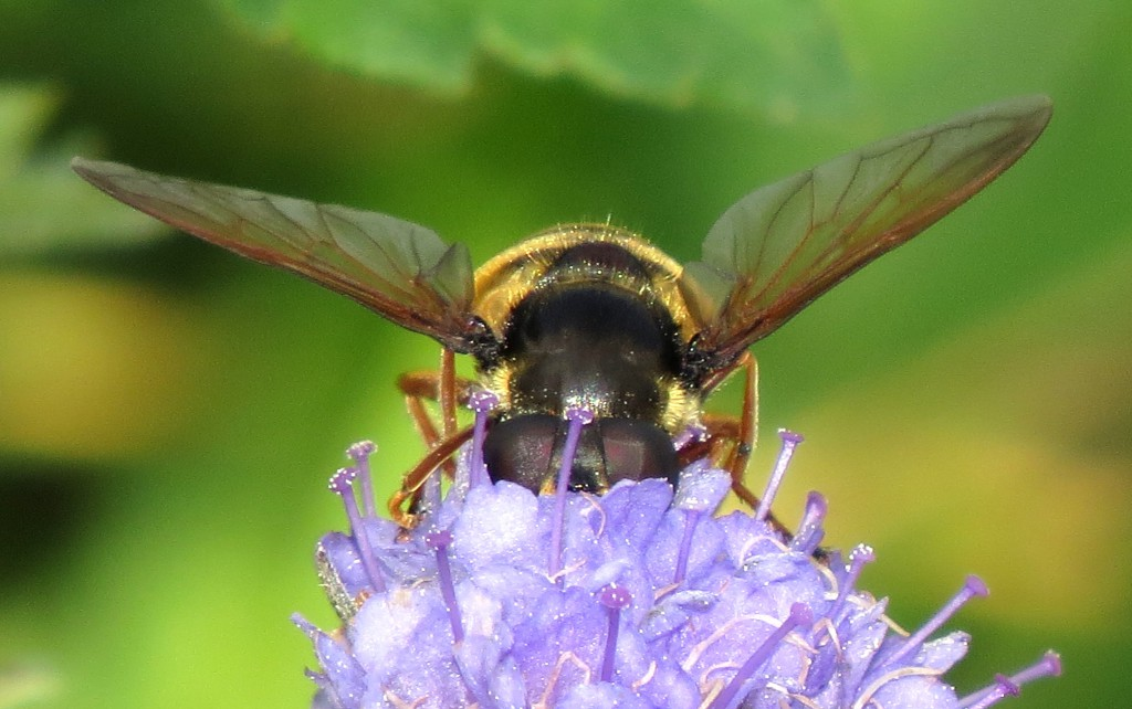 Myrtigerflue Sericomyia silentis på blåknapp. Foto: Tor Bollingmo.