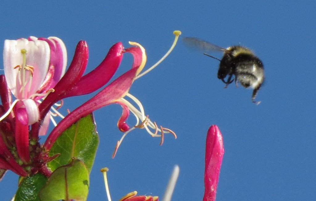 Hagehumle B. hortorum arbeider, klar for landing på en hagevariant av kaprifol Lonicera. Denne planten sto skjermet for vær og vind i en hage på Gjæsingen, 30. august 2014. Foto: Tor Bollingmo.