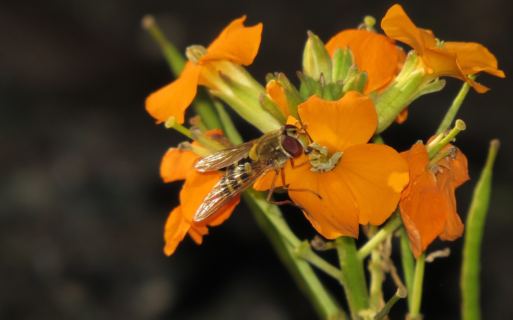 Hageblomsterflue Syrphus ribesii på gyllenlakk, Ringve botaniske hage 17. okt. 2014. Foto: Tor Bollingmo.