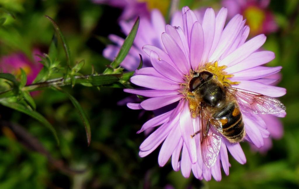Blant insektene på vierasters var flere eksemplarer av hagedroneflue Eristalis lineata, som blant annet kjennes igjen på lysegult ansikt og at den lille flekken på vingens fremkant er avlang. Ringve botaniske hage 17. okt. 2014. Foto: Tor Bollingmo.