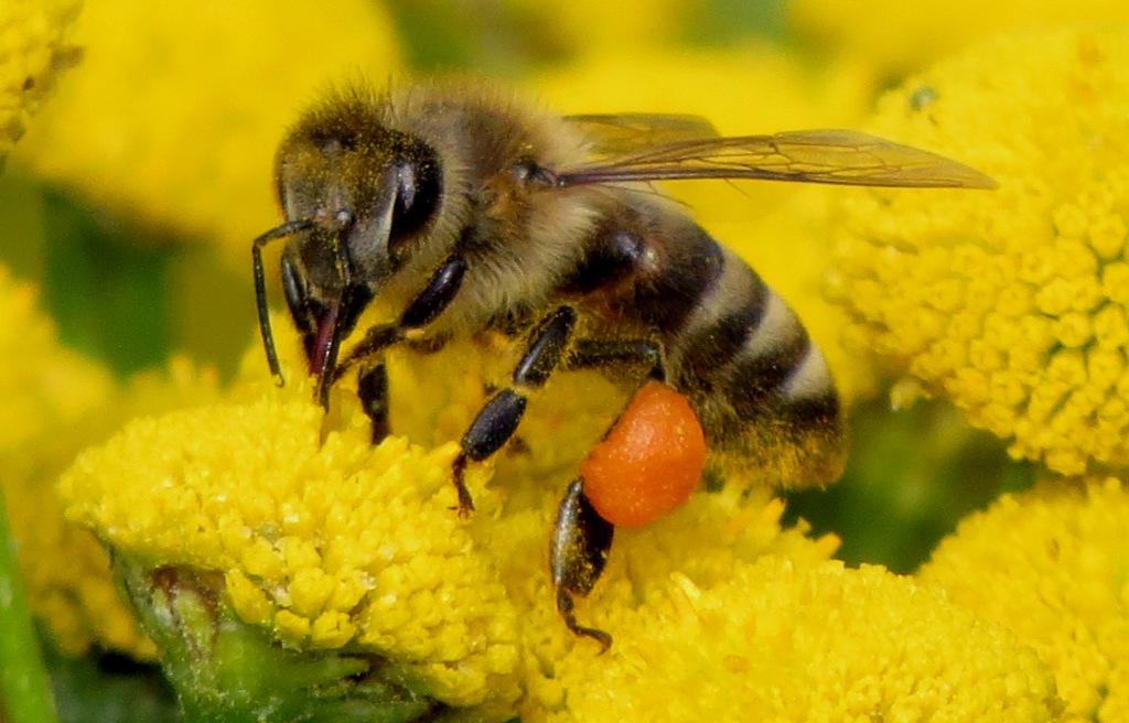Bienes tilbakegang har direkte konsekvenser for verdens matproduksjon. Her en arbeider av tambie Apis mellifera. Foto: Tor Bollingmo.