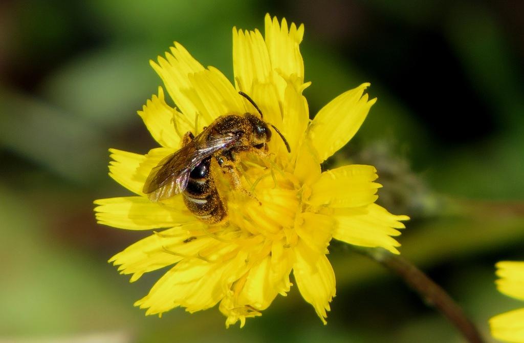 Det er vanskelig å undersøke hvor spesialiserte villbier er i valg av næring. Pollen fra museumseksemplarer kan derfor gi viktige svar. Her en villbie på sveve. Foto: Tor Bollingmo.