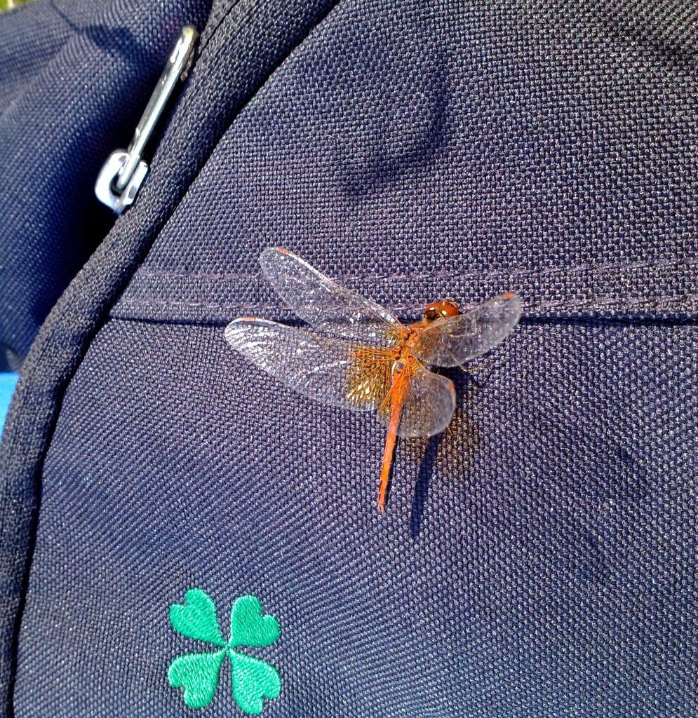 Gulvinget høstlibelle Bengtson