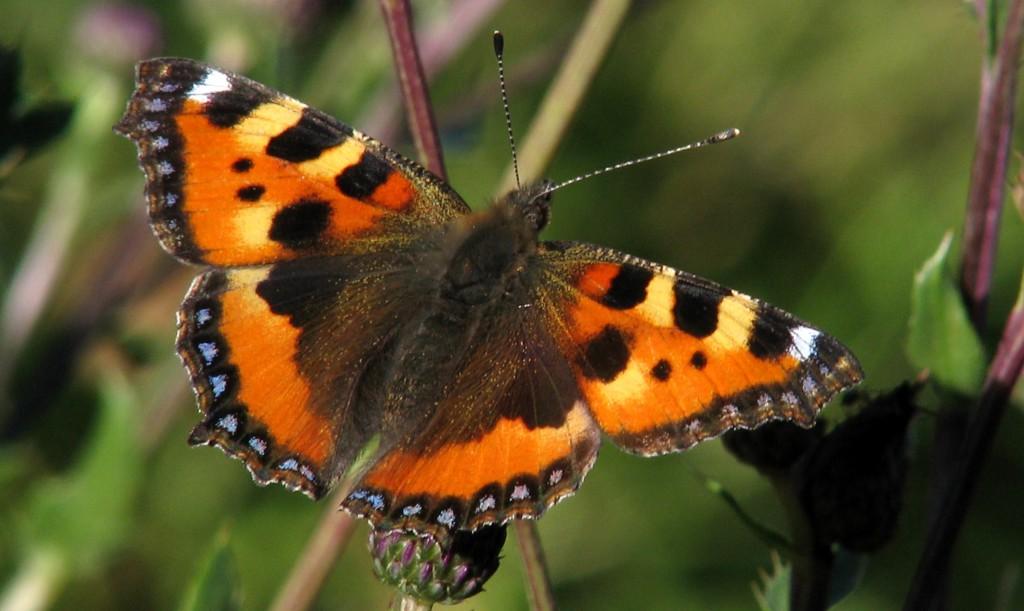 Neslesommerfuglen Aglais urticae er gjerne den aller første sommerfuglen om våren. Foto: Tor Bollingmo,