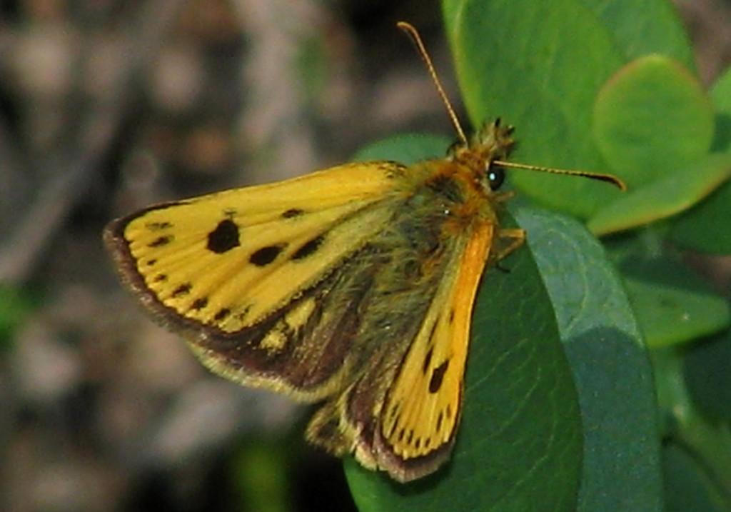 Svartflekksmyger er en lynkjapp og vakker liten sommerfugl som kun finnes  på Østlandet. Foto: Tor Bollingmo.