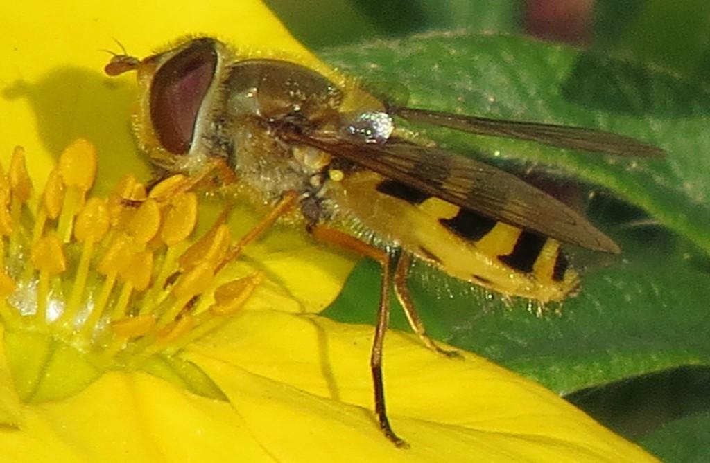 Blomsterfluer er blant de aller siste insektene på sene blomster om høsten. Her trolig en hageblomsterflue Syrphus ribesii på buskmure, Trondheim xx.xx.2014. Foto: Tor Bollingmo.