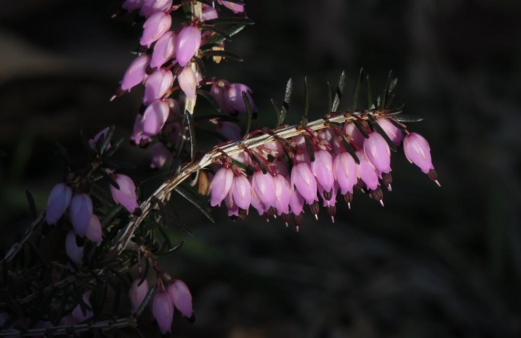 Blålyng er den første som blomster på Ringve om våren. Den er en fjellplante fra lenger sør i Europa og foretrekker kalkrik grunn. Foto: Tor Bollingmo.