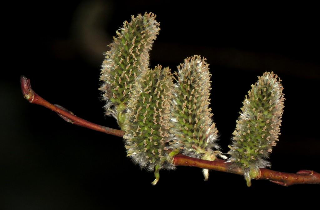 Hunnblomster av en vest-amerikansk art som blomstret som den aller første på Ringve i år. Bare de lysegrønne arrene setter farge på blomsten. Hannblomstene er drivende gule av pollenknapper som sitter i tette rader. Foto: Tor Bollingmo.