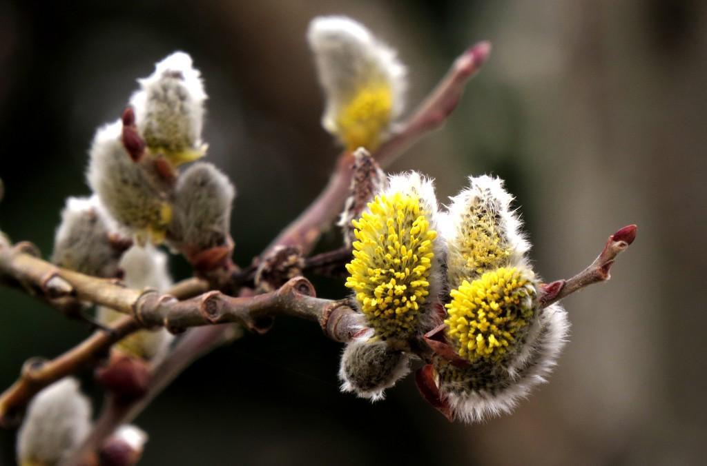 Hannblomster av vier Salix. Foto: Tor Bollingmo.
