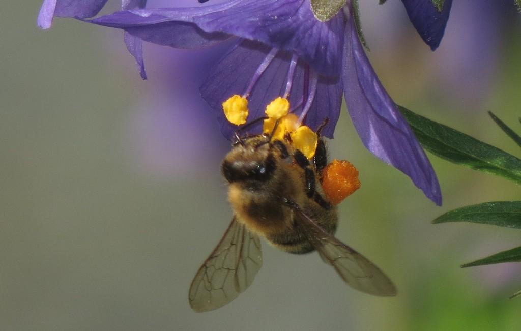 Honningbier har også en svak positiv elektrisk ladning, og kan registrere om kronblader er negativt ladet. Her en honningbi på fjellflokk. Foto: Tor Bollingmo.