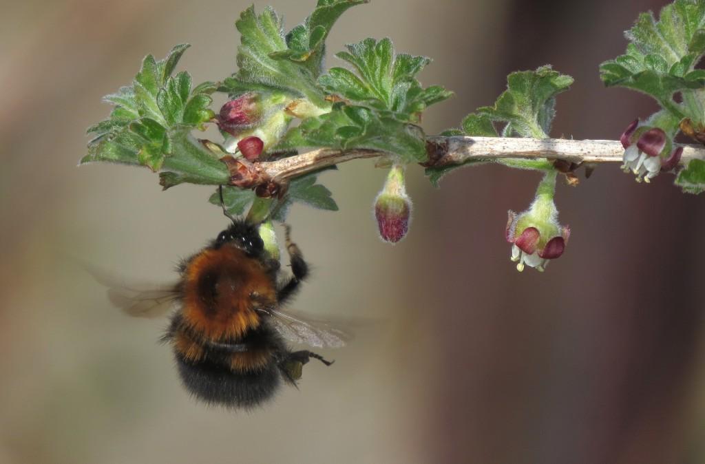 Når humla slår med vingene, produseres det en positiv elektrisk ladning i pelsen og humlekroppen. Foto: Tor Bollingmo.