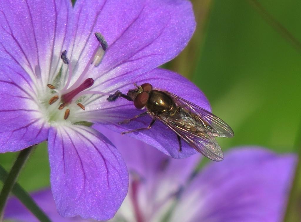 Det er sannsynlig at også andre insekter kommuniserer med blomstene ved hjelp av elektrisitet. Her en matt fotblomsterflue Platycheirus manicatus som forsyner seg av pollen fra en skogstorkenebb. Foto: Tor Bollingmo.