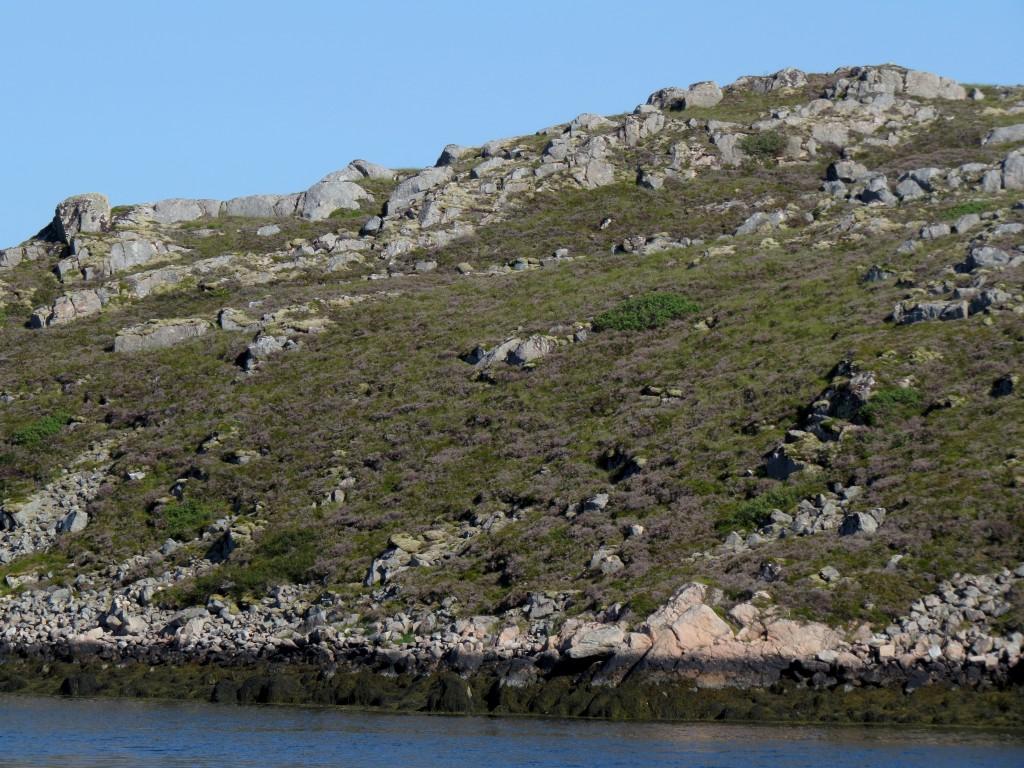 Inne på selve Frøya (her fra Dyrøy-området) er den mer enn halvmeter høye røsslyngheia fremdeles helt grå. De grønne partiene er hovedsakelig gress, vier og andre arter som rykker inn der sollyset når bakken. Foto: Tor Bollingmo.