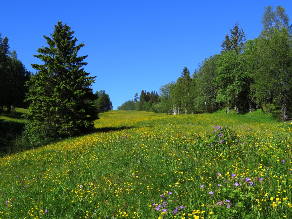 Slåtteengene i Beitlandet ligger forholdsvis høyt i skogen, og har en fauna og flora som er ganske enestående i Midt-Norge. Foto: Tor Bollingmo.