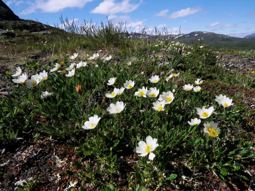 I fjellet i Oppdalstraktene sto reinrosen i flotte tepper den 4. juli 2015. Foto: Tor Bollingmo.