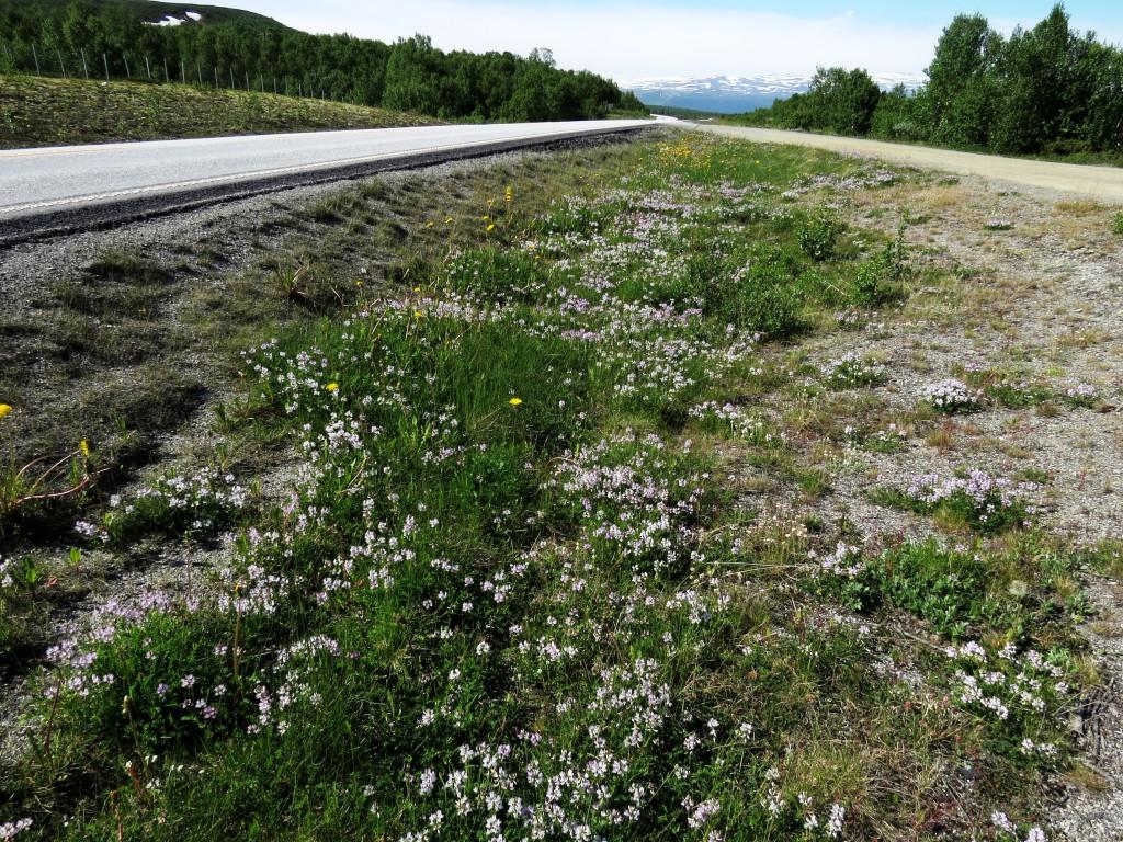 Flere steder var vegkantene ved Fokstua og Hjerkinn nærmest dekket av reinmjelt, som er den viktigste planten for humlene i fjellet på denne tiden. Foto: Tor Bollingmo.