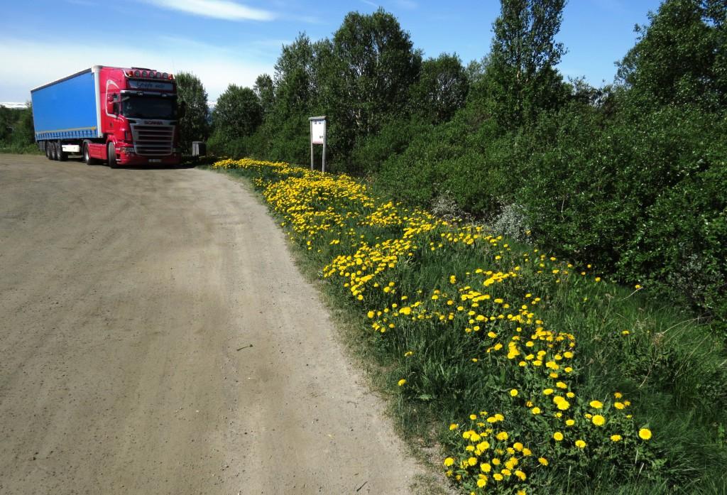 Nesten to måneder etter blomstringen i lavlandet i Trøndelag, blomstrer løvetanna på Dovrefjell. Her fra vegkanten ved Fokstua. Foto: Tor Bollingmo.