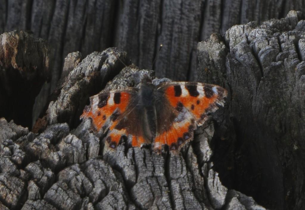En utslitt første generasjons neslesommerfugl hadde slått seg ned ved ei løe på Hjerkinn. Foto: Tor Bollingmo.