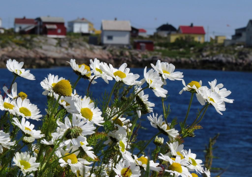 Balderbrå vokser i store mengder til langt ut på høsten, men har ingen verdi som nektarkilde for humlene. Motiv fra Gjæsingen, Frøya 11. juli 2015. Foto: Tor Bollingmo.
