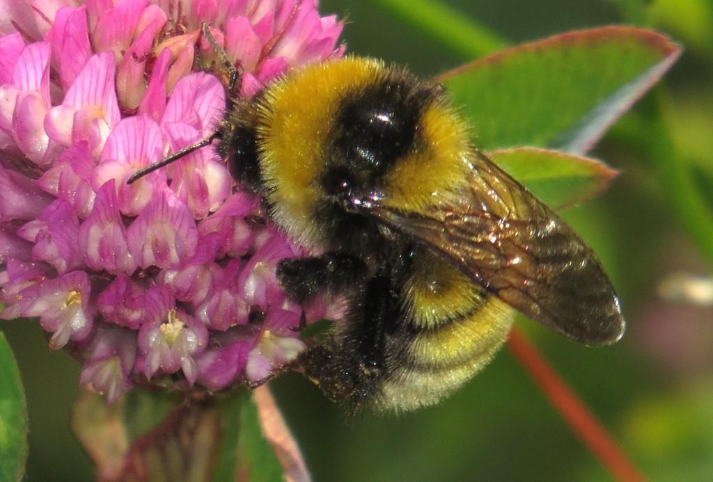 Kløverhumle arbeider med pollen på rødkløver, Moreppen,