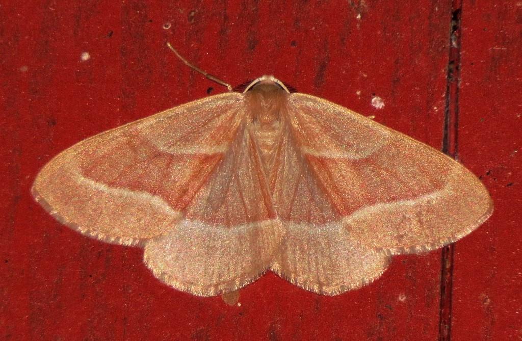 Nattsommerfugler er et veldig spennende tema å studere. mange arter kommer til utelamper, ultrafiolett lys og foring med vintråder. Her den flotte hannen av barskogmåler Hylaea fasciaria ved utelampa. Foto: Tor Bollingmo.