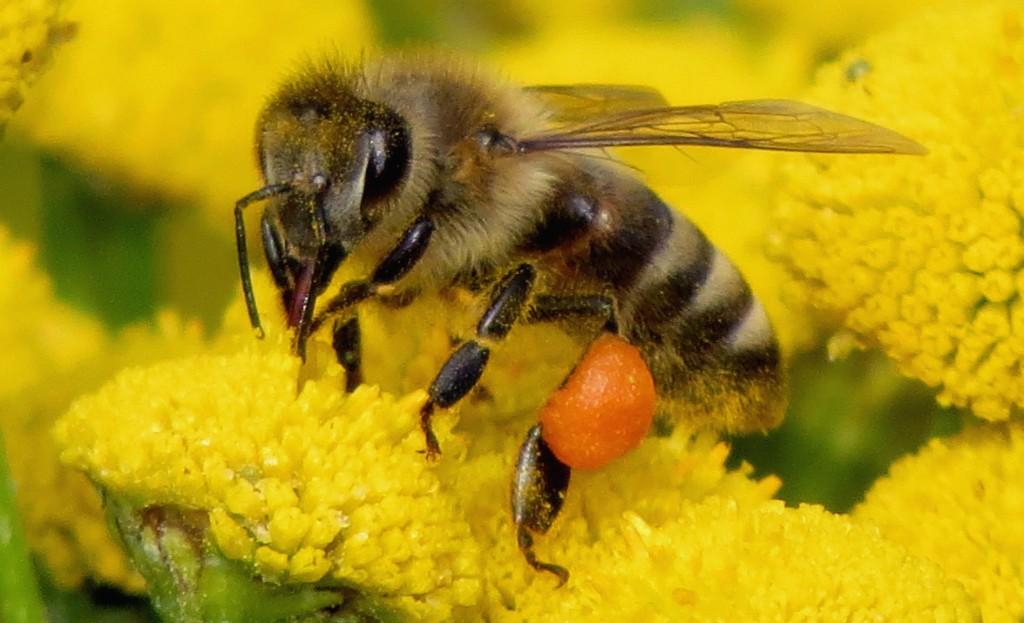 Friske og sterke bier er en forutsetning for god produksjon av honning. Foto: Tor Bollingmo.