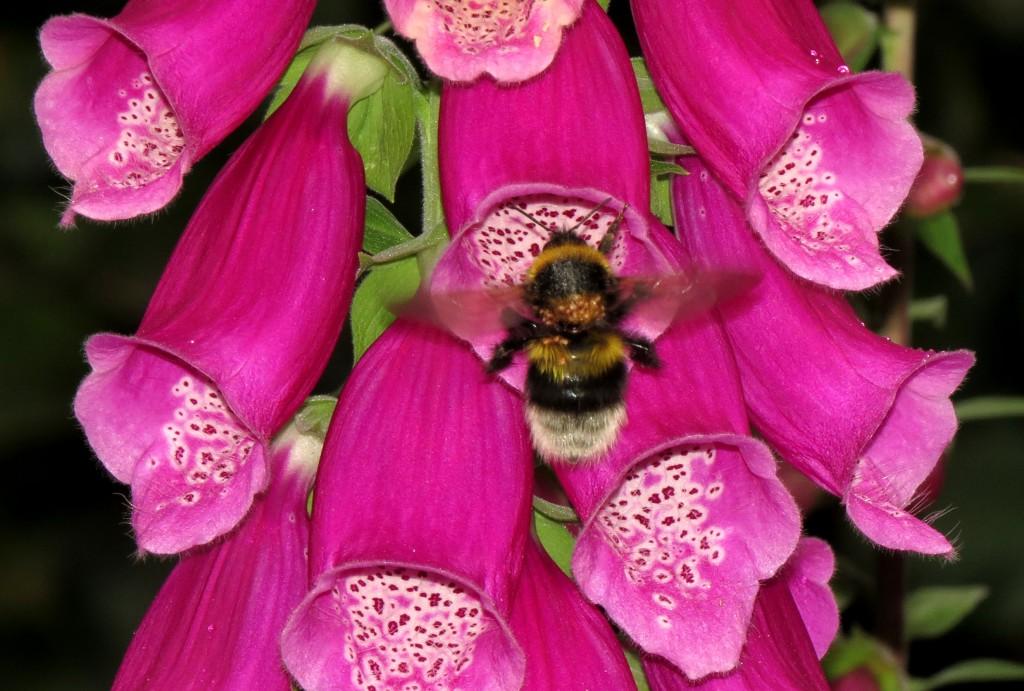 Hagehumla Bombus hortorum er den humlearten som blir sterkest infisert med midd, både på kontinentet, i England og her til lands. Midden bruker muligens storkronede blomster som revebjelle Digitalis til å hoppe over fra en humle til en neste. Foto: Tor Bollingmo.