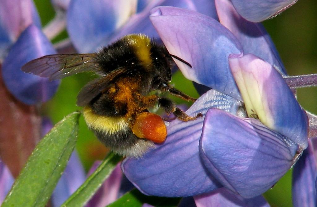En arbeider av ubestemt jordhumle samler pollen på lupin. Både dronninger og arbeidere blir sterkt tilgriset av pollen under slike besøk, spesielt i avsnittet mellom for- og bakkroppen. Foto: Tor Bollingmo.