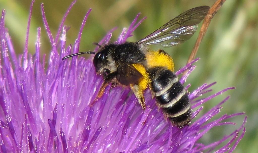 Villbie på piggtistel. Verdien av ville pollinatorer øker for hver gang noen prøver å regne på det. Foto: Tor Bollingmo.