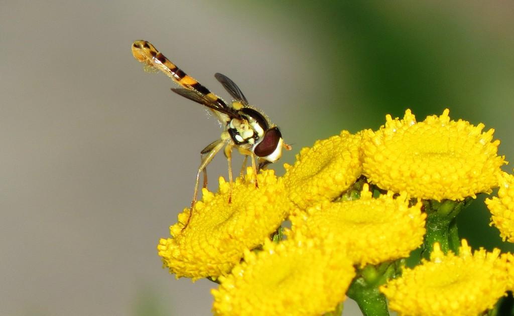Insektordenen tovinger (Diptera) består av omtrent 130 000 arter fluer og mygg, med minst 5000 arter i Norge. De har enorm betydning både som skade- og nyttedyr, blant annet som pollinatorer av matplanter som kakao. Her en kulehaleflue Sphaerophoria sp. på reinfann. Kulehalefluer tilhører blomsterfluene som er en stor familie innen tovingene. Foto: Tor Bollingmo.