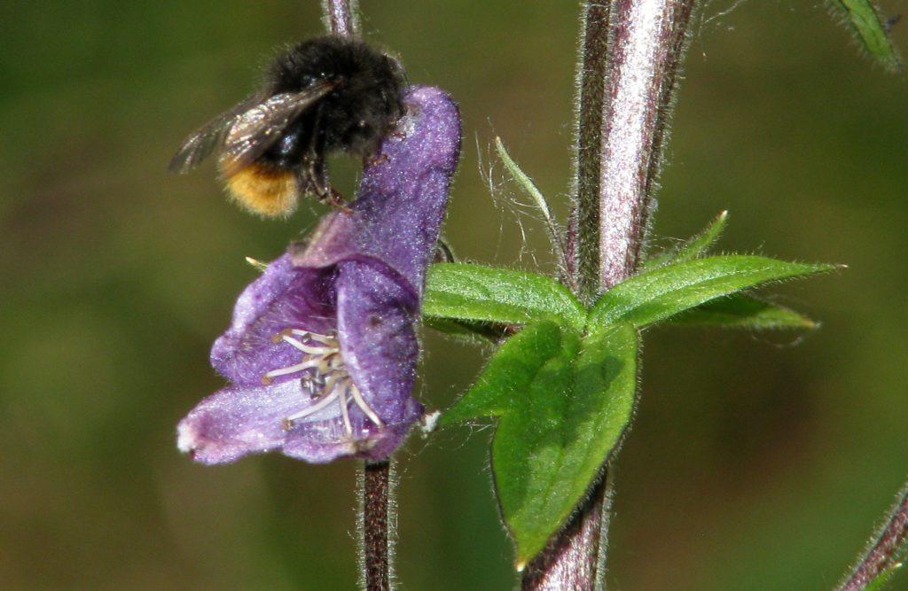 Arbeider av tyvhumle iferd med å stjele nektar fra et hull som tyvhumlene gjennom gjentatte besøk har laget øverst på blomsten, der nektariet sitter. Foto: Tor Bollingmo.