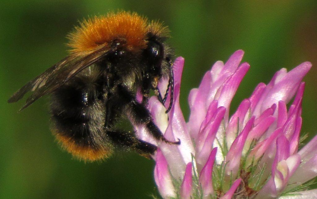 """Åkerhumla har så lang tunge at den alltid går """"rett vei"""" når den skal ned i rødkløverblomsten og hente nektar. Da må tunga også passere forbi støvbærerne, slik at rødkløveren blir pollinert. Foto: Tor Bollingmo."""