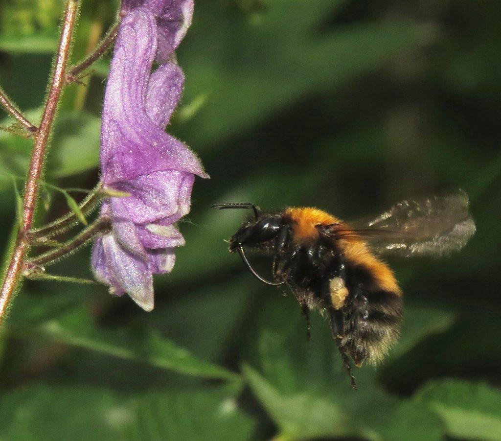 Lushatthumle iferd med å lande på blomsten av tyrihjelm. Foto: Tor Bollingmo.