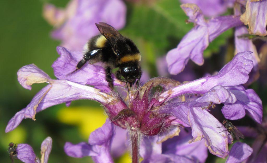 En dronning trolig av kilejordhumle under nektartyveri på en hagevariant av en leppeblomst. Foto: Tor Bollingmo.